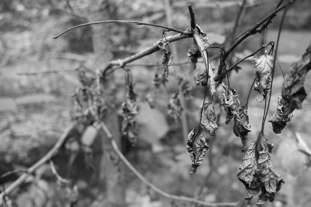 grayscale photo of plant stem