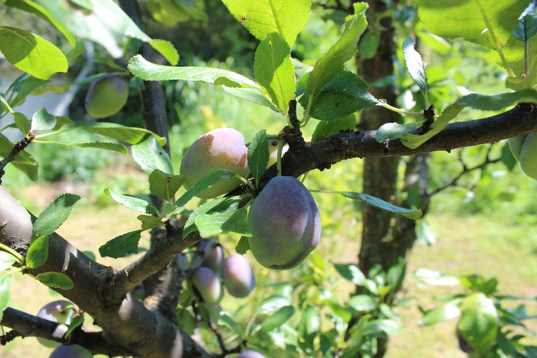 Organic and juicy plum growing on the tree