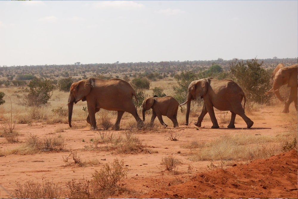 group of elephants on brown field during daytime