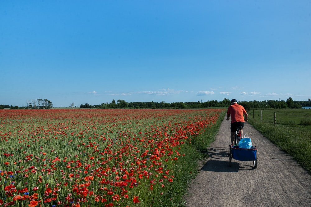 woman in red jacket and blue denim jeans walking on pathway between red flower fields during