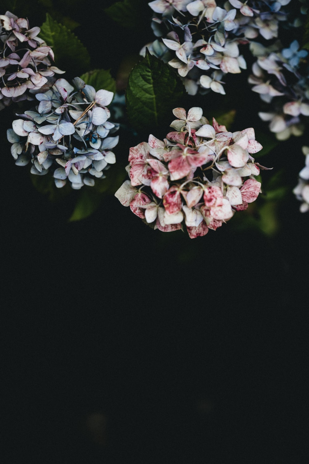 white and pink flowers in black background