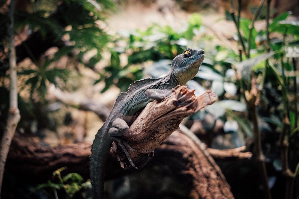 gray and brown lizard on brown wood