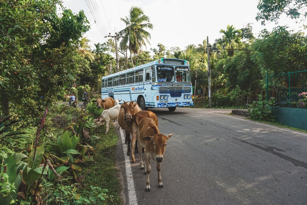 brown cow on road during daytime
