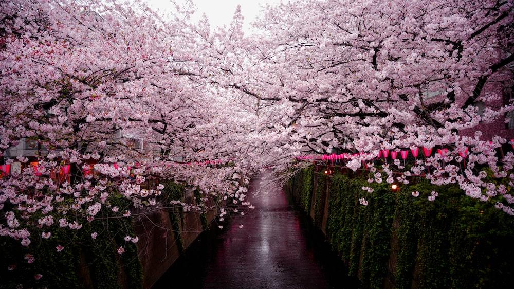 pathway between cherry blossom trees