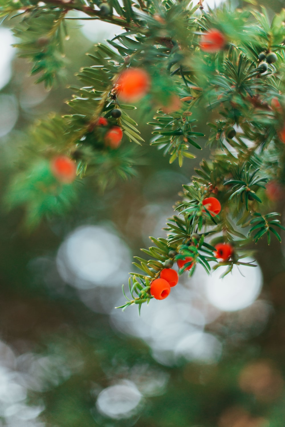 red and white round fruits on green tree