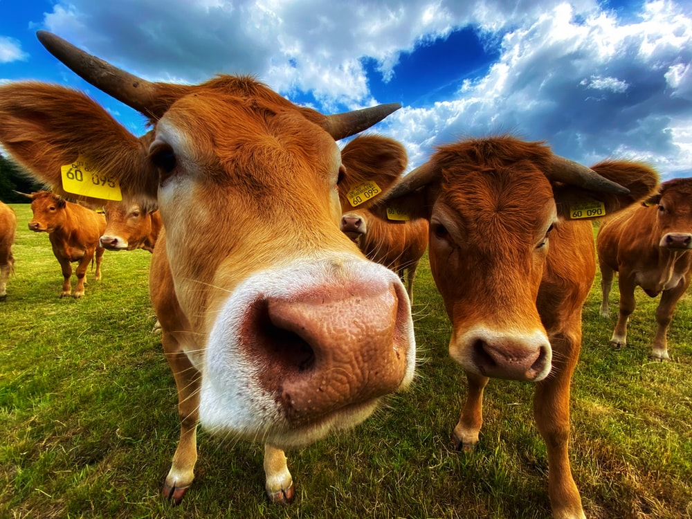 brown cow on green grass field under blue and white cloudy sky during daytime