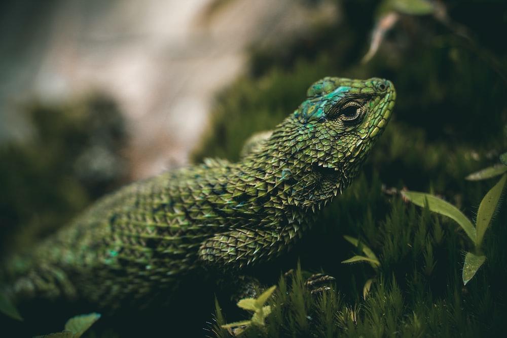 green lizard on brown soil