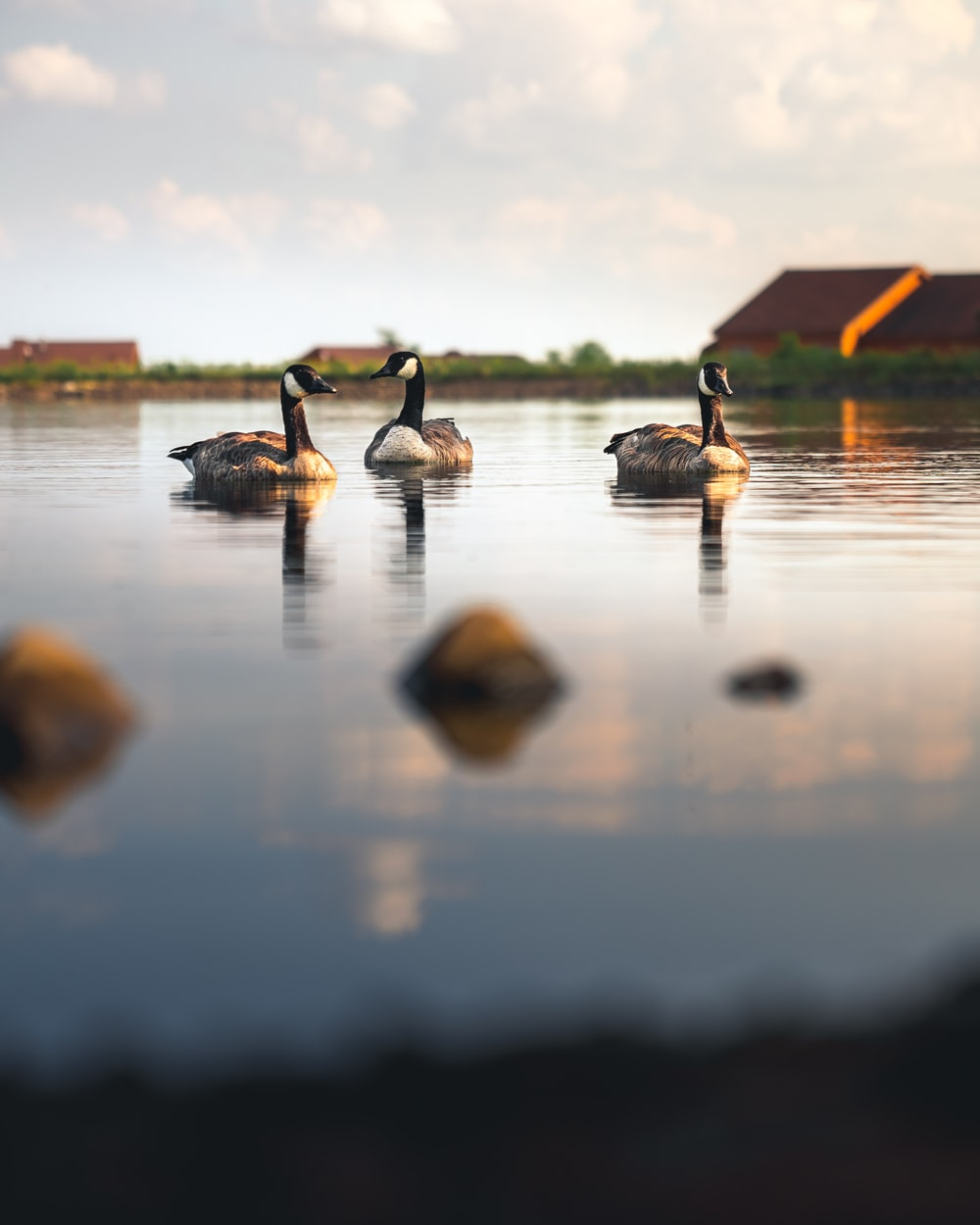 flock of geese on water during daytime