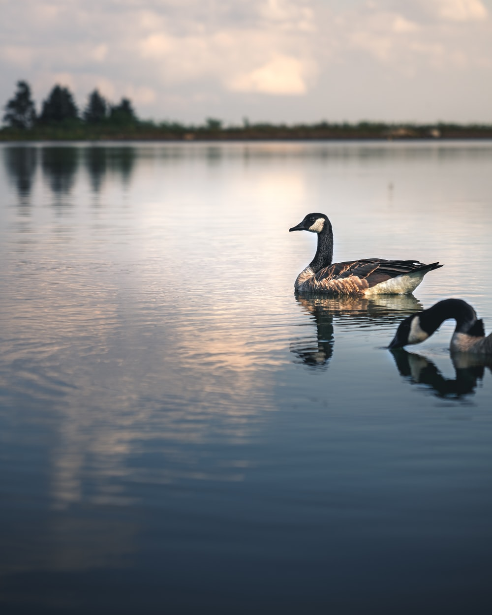 two black and white geese on water during daytime