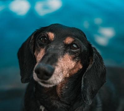 black and tan short coat medium sized dog doggo zoom background