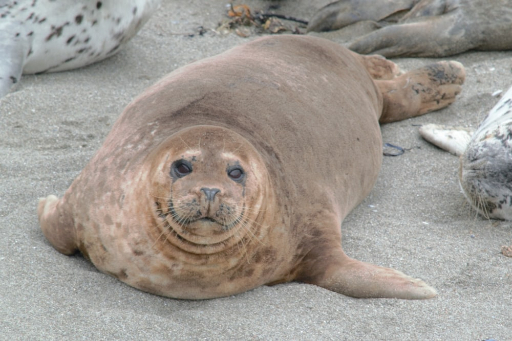 seal lying on gray sand during daytime