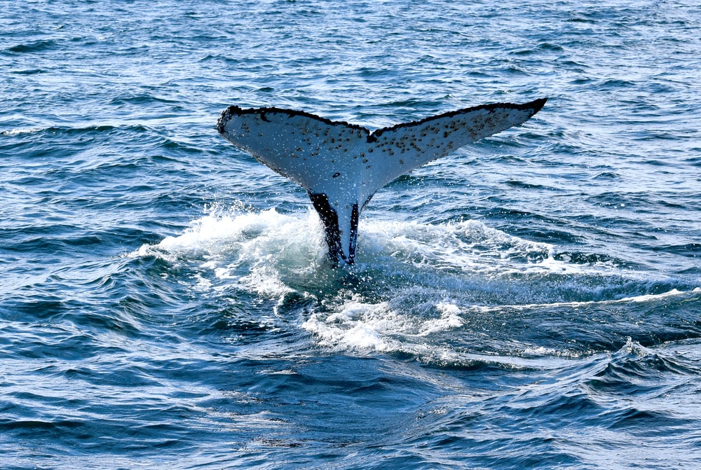 whale tail on blue sea during daytime