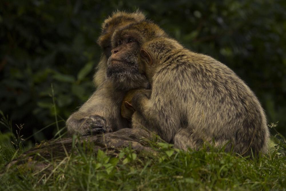 brown monkey on green grass during daytime
