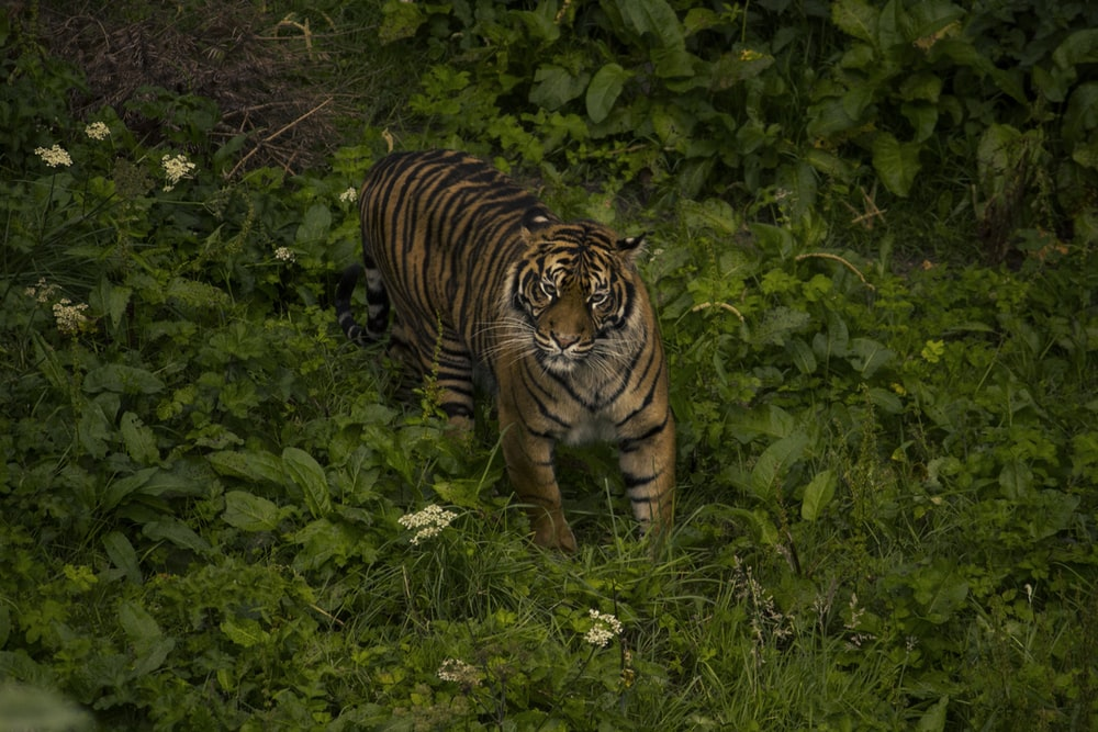 brown and black tiger on green grass during daytime