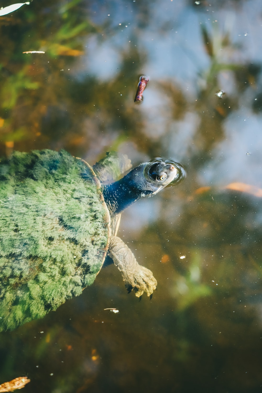 green and brown turtle in water