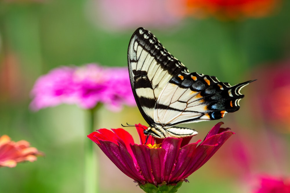 tiger swallowtail butterfly perched on pink flower in close up photography during daytime