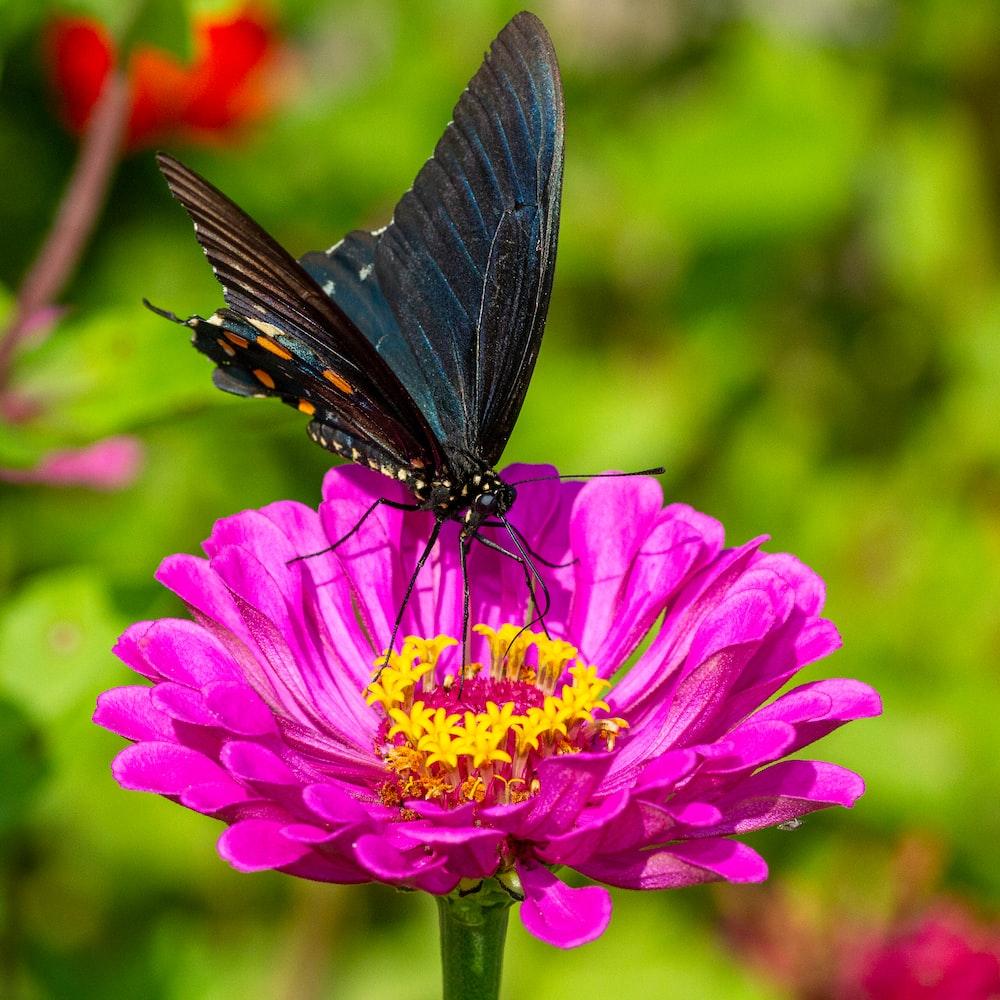 black butterfly on purple flower