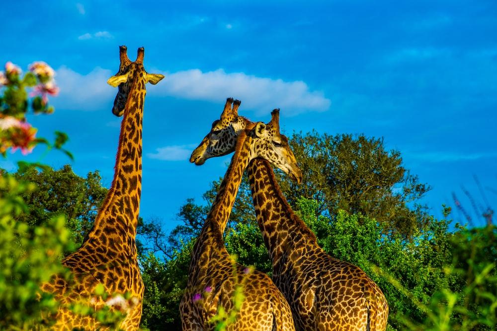 three giraffe on green grass field during daytime