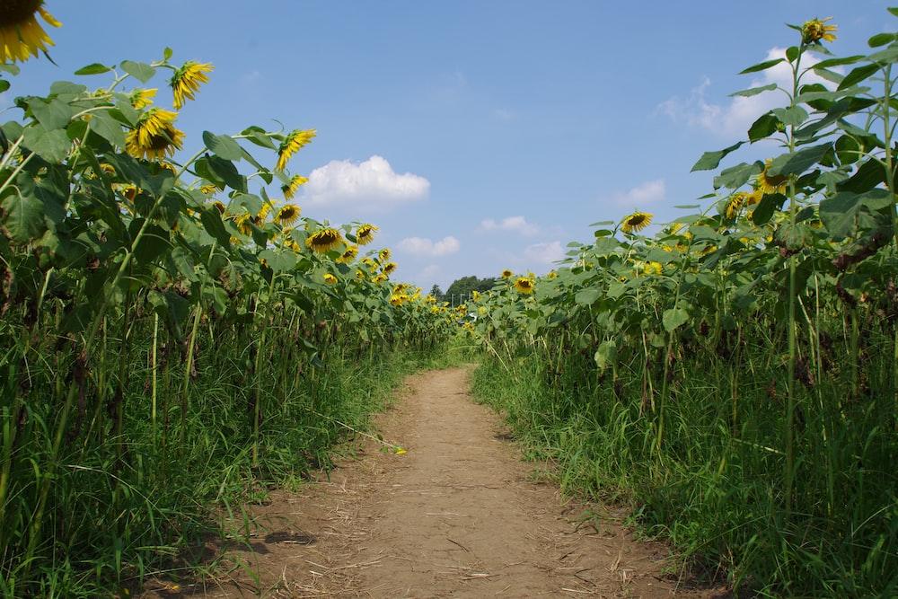 brown dirt road between green plants under blue sky during daytime