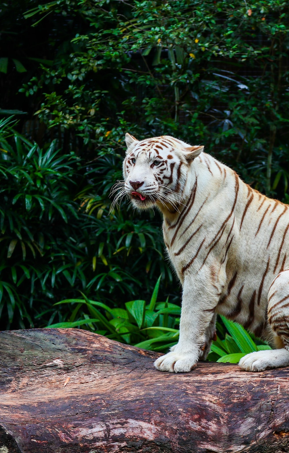 brown and white tiger on brown wooden log