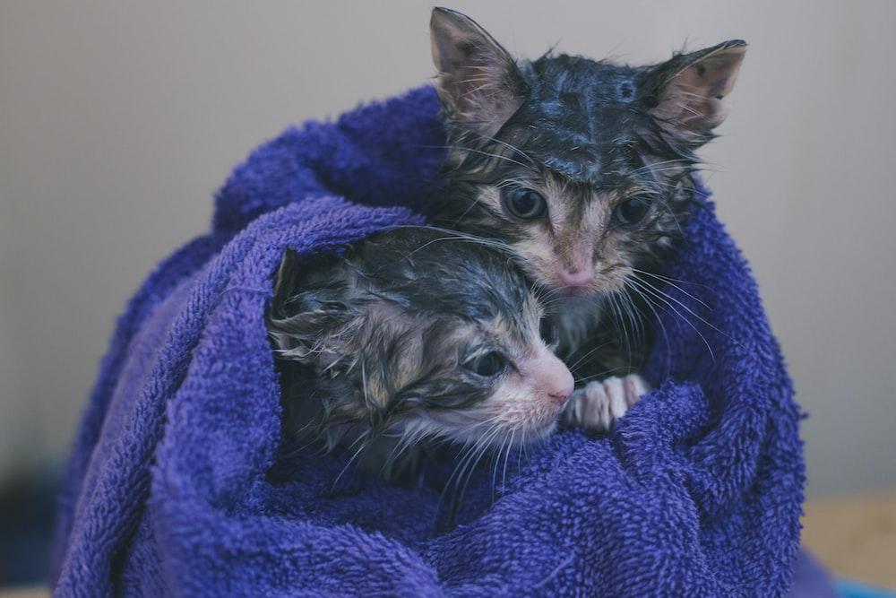 silver tabby kitten on blue textile