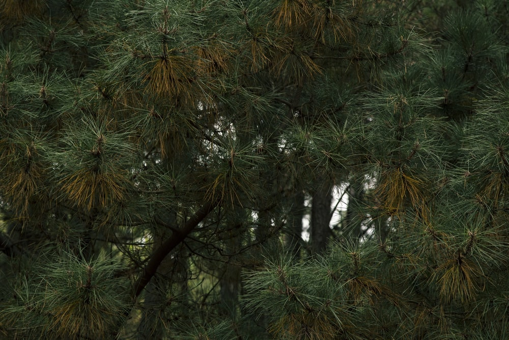 green pine tree in forest