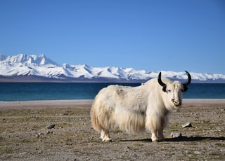 white cow on brown field during daytime