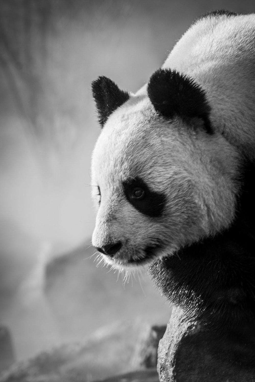 grayscale photo of panda on tree branch