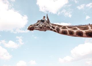 giraffe under blue sky during daytime