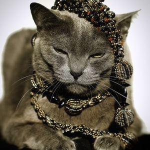russian blue cat wearing gold necklace