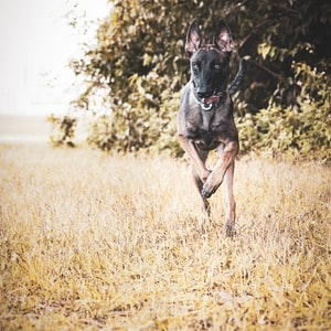 black and brown short coated dog running on brown grass field during daytime