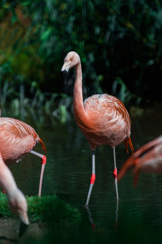 pink flamingos on green grass during daytime