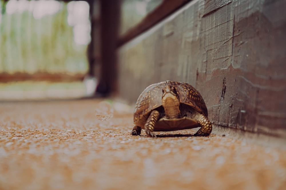brown and black turtle on brown floor
