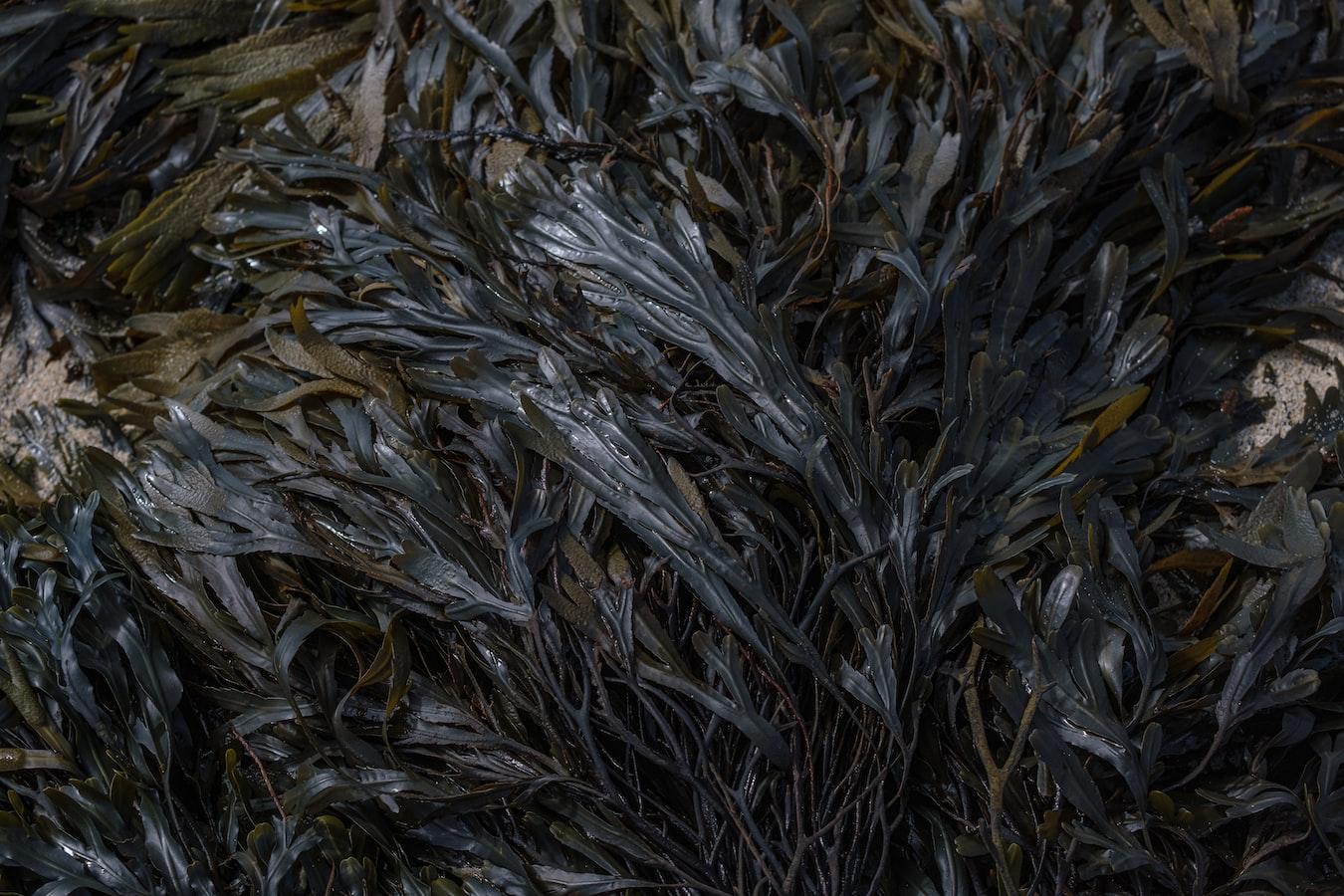 9月17日 海帶可減少人體對脂肪的吸收   Heho健康