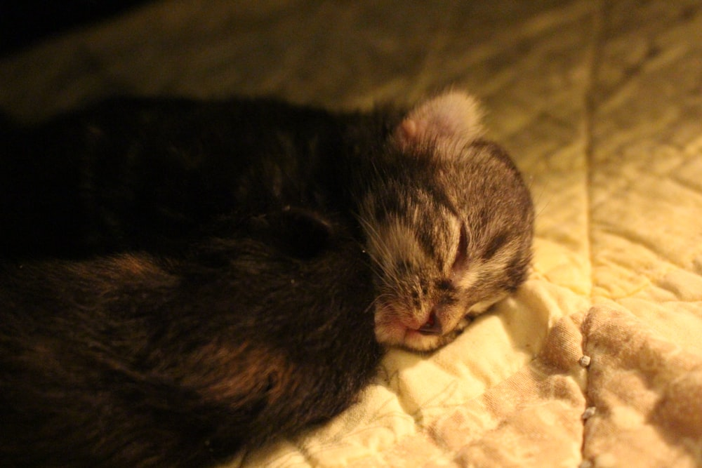 brown and black short coated kitten on white textile