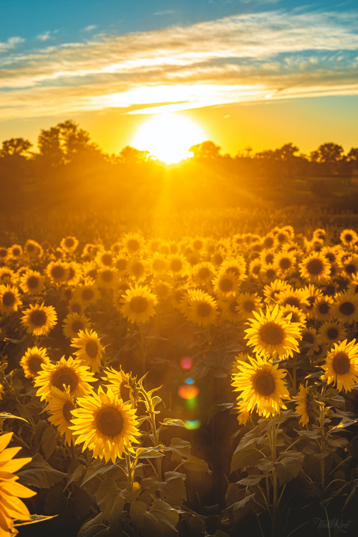 sunflower field during golden hour