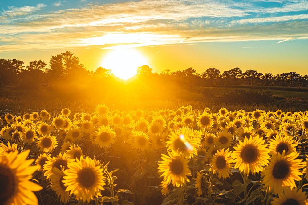sunflower field under blue sky during sunset
