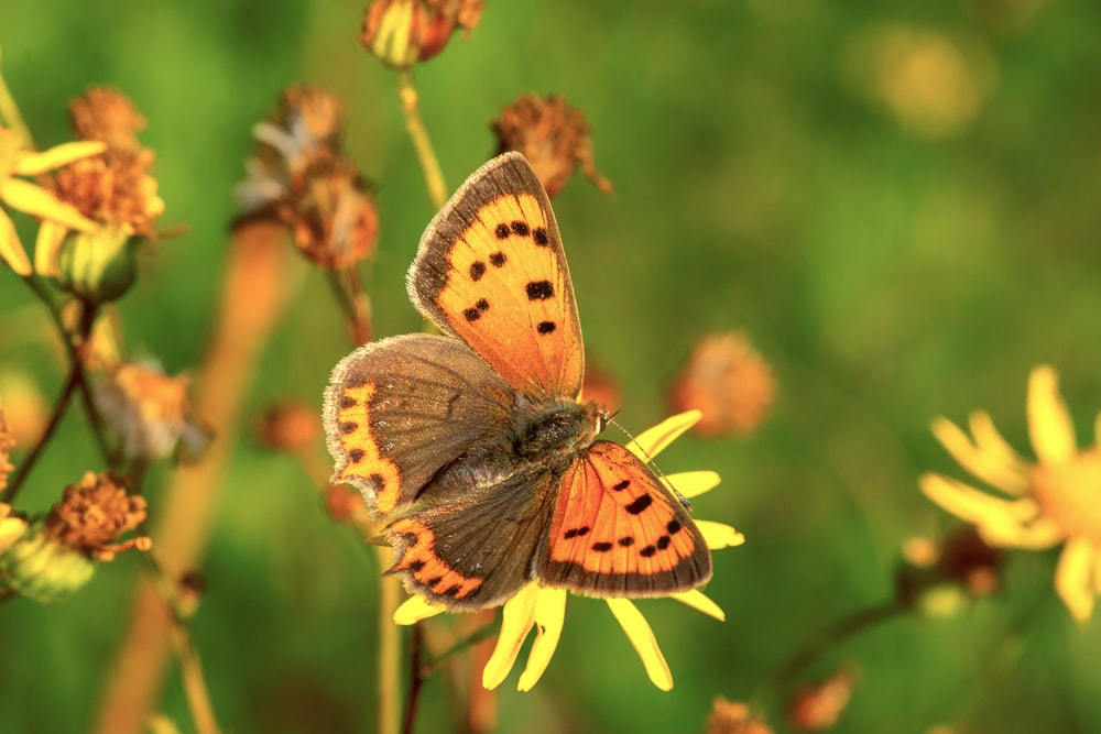 brown and black butterfly perched on yellow flower