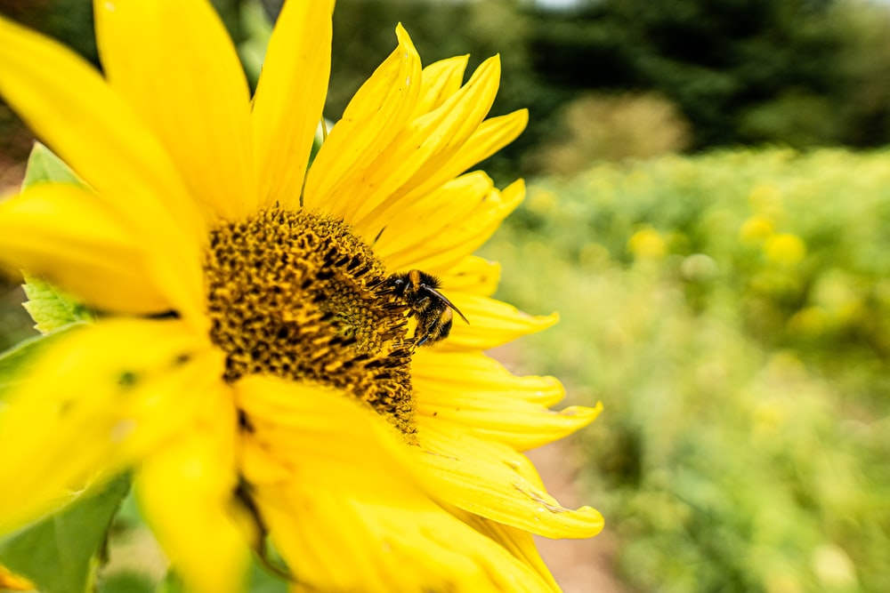 black and yellow bee on yellow flower during daytime