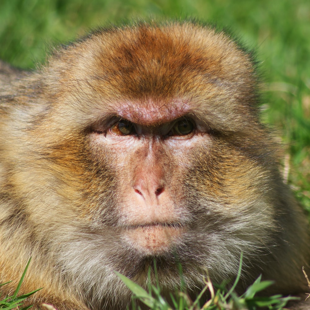 brown and beige monkey on green grass during daytime