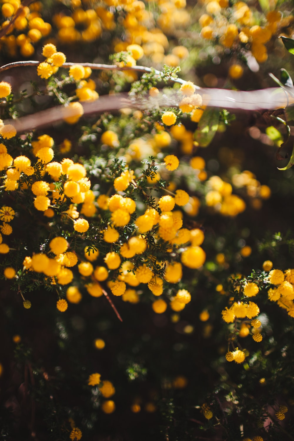 yellow round fruits on brown stick