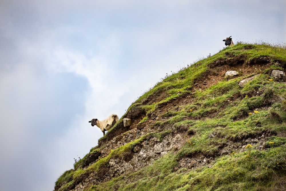 brown and white sheep on green grass field under white clouds during daytime