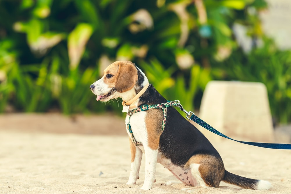 tricolor beagle on white sand during daytime