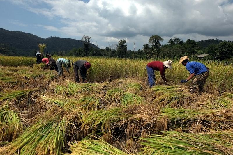 People harvest rice
