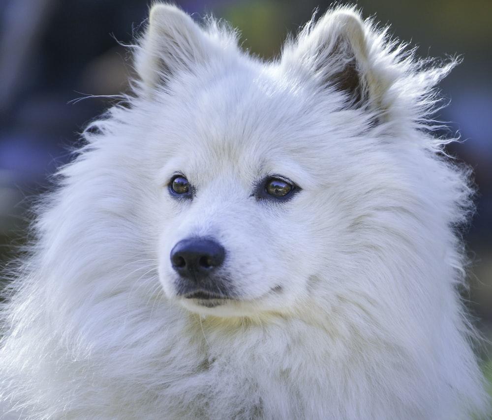 white long coat dog in close up photography pomeranian