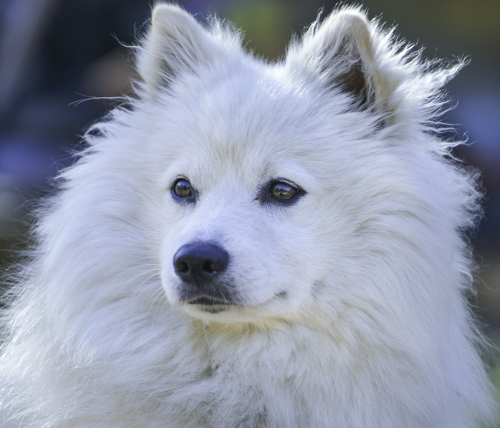 white long coat dog in close up photography