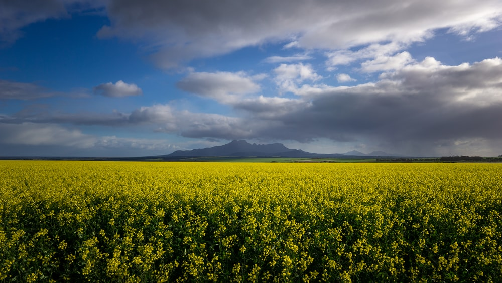 yellow flower field under blue sky and white clouds during daytime