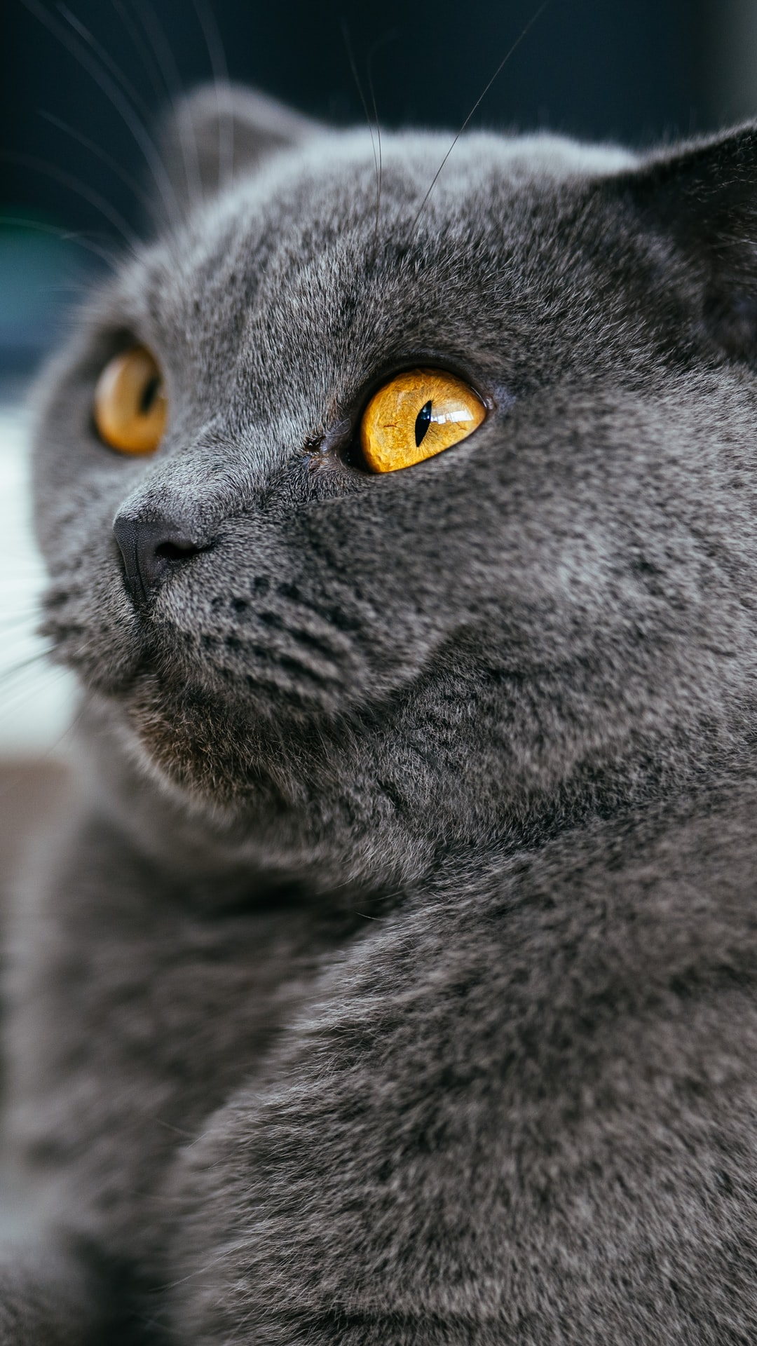 Scottish Fold: Rare Cat Breed Facts and More