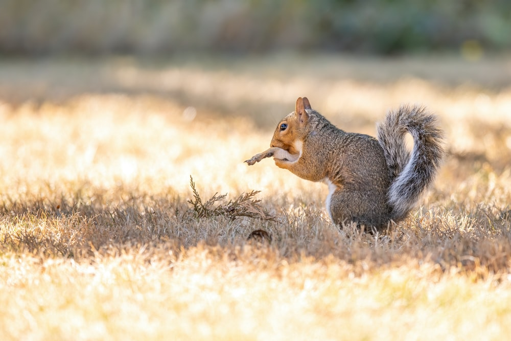 brown squirrel on brown grass field during daytime