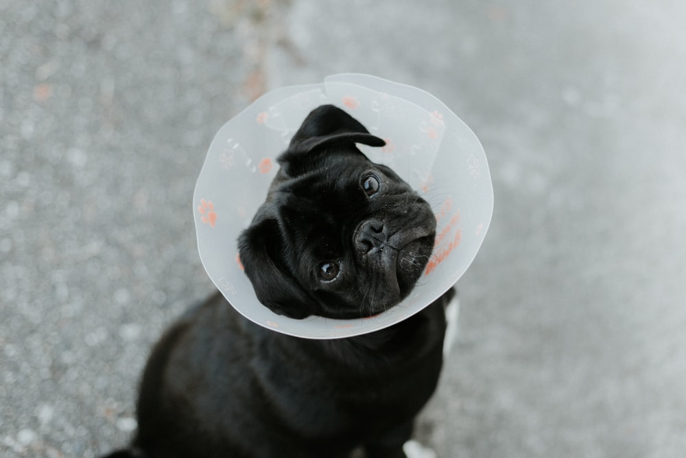 pug dog with a medical cone around head (cone of shame)